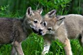 Sibling wolf pups greeting one another