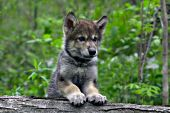 Wolf pup resting on a log