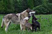 Black & gray pups greeting their mother in a spring meadow