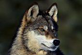 Adolescent wolf portrait