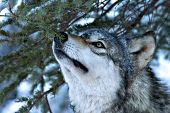 Adult wolf sniffing a pine branch