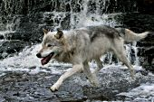 Gray wolf running in a shallow river with a waterfall behind