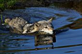 Gray wolf swimming in a pond