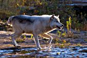 Backlit wolf running through shallow water