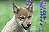 Wolf pup and lupine