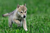 Wolf pup running in a meadow