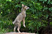 Wolf pup standing up on its hind legs to investigate a tree
