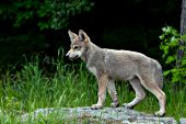 Wolf pup standing on a flat rock
