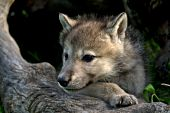 Wolf pup playing in a hollow log
