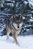 Wolf pup in a snowstorm