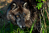 Black wolf at the edge of a pond