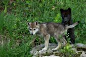 Gray & black wolf pups in spring foliage