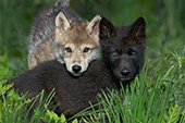 Gray & black wolf pups in tall grass