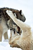Subordinate wolf greeting the pack leader