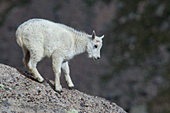 Mountain goat kid standing on a large boulder