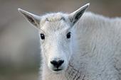 Inquisitive mountain goat kid