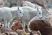 Two mt. goat kids standing on a rocky hillside