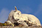 Mt. goat kid sleeping on top of a ridge