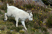 Mt. goat kid running down a mountainside of wildflowers