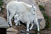 Two baby goats playing at the edge of a pond