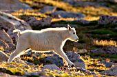 Back-lit mt. goat kid running on rocky tundra