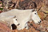 Mt. goat nanny & kid on top of a rocky ridge