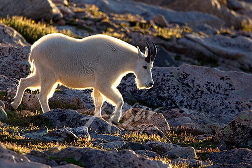 Mt. goat walking down a rocky hillside at sunset Mt. Evans, Colorado