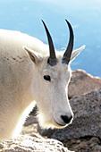 Mt. goat portrait