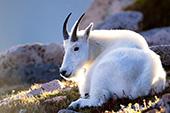 Mountain goat resting on a hillside