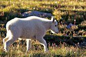 Mountain goat kid walking in back-lit grass
