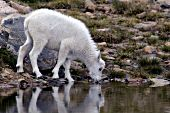 Mountain goat kid drinking from a pond