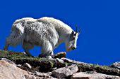 Large male goat walking down a hillside