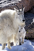 Mountain goat nanny & kid