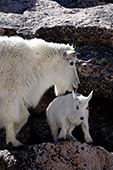 Mountain goat mother licking her baby