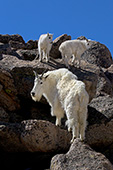 Mountain goat mother & twin kids climbing on rocks