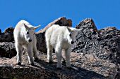 Twin mountain goat kids climbing on rocks