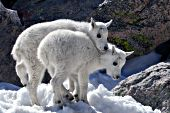 Two mountain goat kids playing in snow