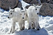Three mountain goat kids playing in snow