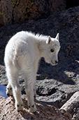 Baby mountain goat (kid) climbing on rocks