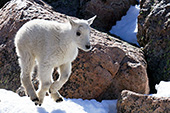 Baby mountain goat (kid) running in snow