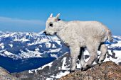 Baby mountain goat (kid) on top of a rock at 14,000 feet