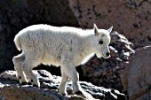 Baby mountain goat (kid) climbing on rocks
