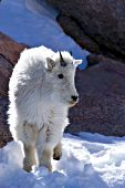 Yearling mountain goat in snow