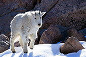 Yearling mountain goat walking in snow