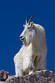 Large male mtn. goat standing on a rock ledge