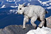Mountain goat kid jumping from rock to rock at 14,000 feet