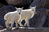 Twin mountain goat kids playing on rocks