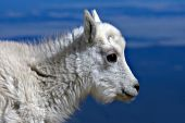 Baby mountain goat (kid)
