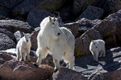 Mountain goat mother & twins