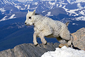 Baby mtn. goat (kid) jumping from one rock to another at 14,000 feet